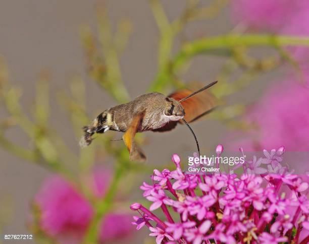 Hummingbird Hawkmoth [Macroglossum stellatarum]