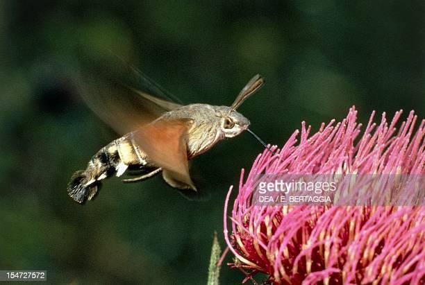 Hummingbird hawkmoth or Hummingmoth Sphingidae