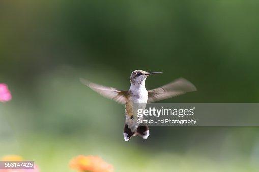 Hummingbird hello