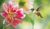 Hummingbird hovering on dahlia over bright summer background