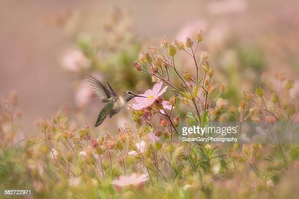 Hummingbird in anemone garden