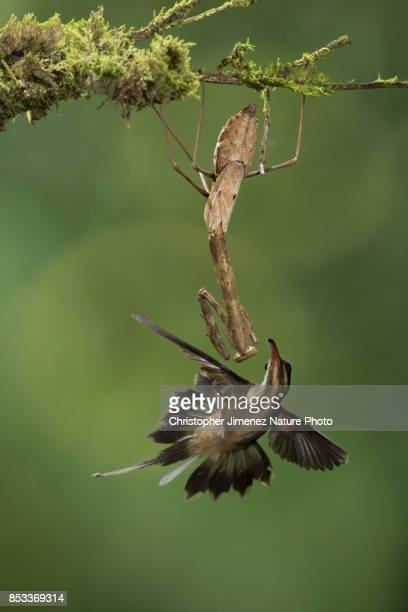 Hummingbird in flight and Mantis