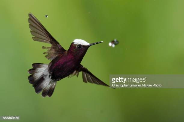 Hummingbird in flight caching a water drop
