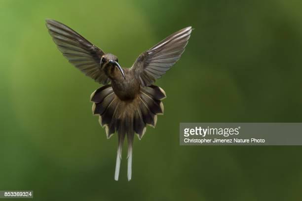 Hummingbird in flight extending its wings
