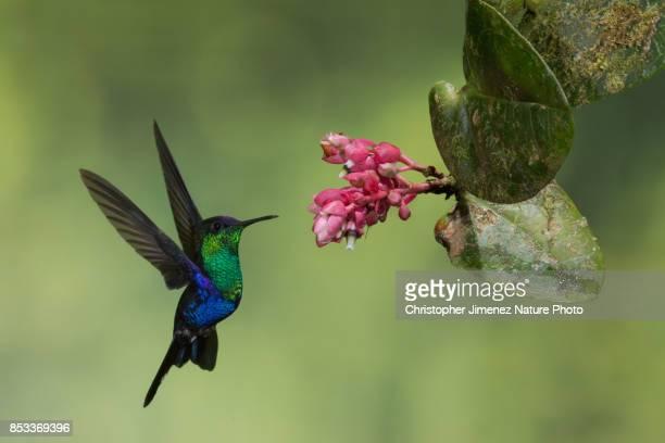 Hummingbird in flight feeding from flowers