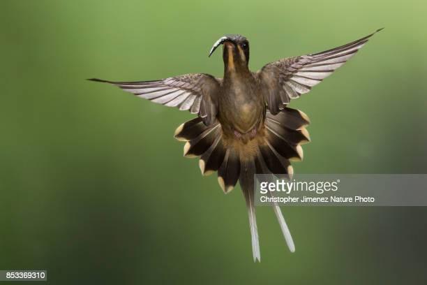 Hummingbird in flight (Long- billed Hermit) spreading its tail