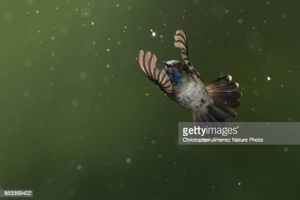 Hummingbird in flight under the rain catching a water drop