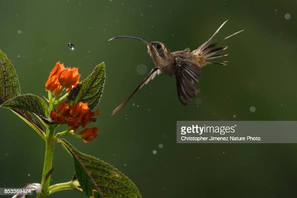 Hummingbird in flight under the rain feeding from flowers