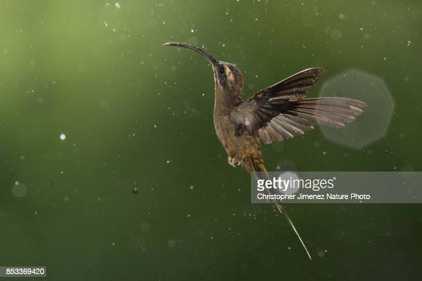 Hummingbird in flight under the rain in the Rainforest