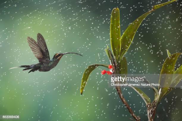Hummingbird in flight under the rain
