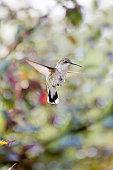Hummingbird, Iowa, USA