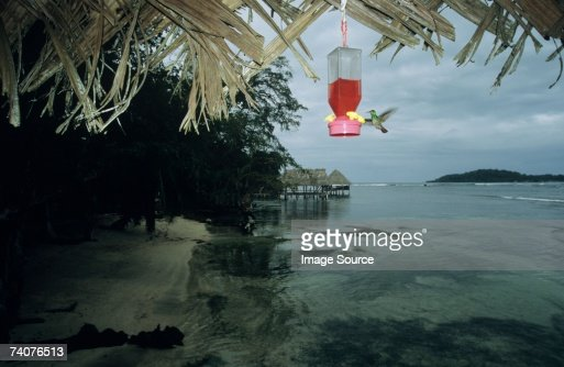 Hummingbird on isla carenero : Stock Photo