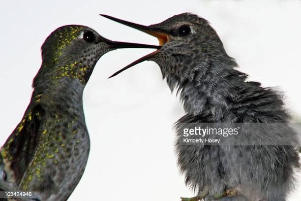 Hummingbird parent and baby