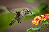 flying hummingbird, Southern California