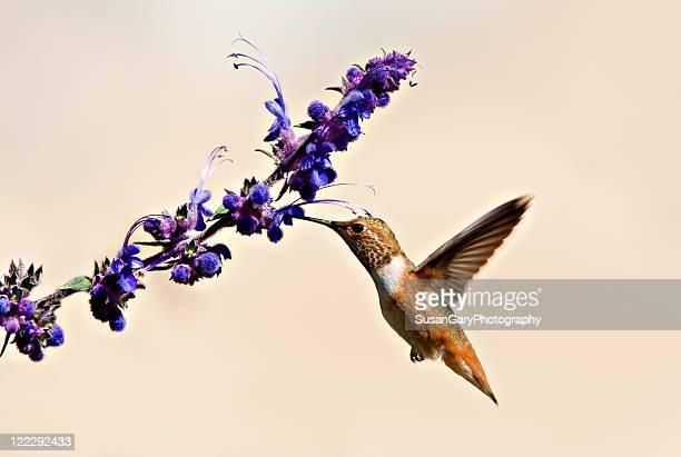 Hummingbird & purple wildflowers