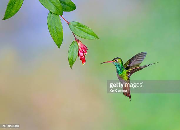 Rufous-tailed Hummingbird,