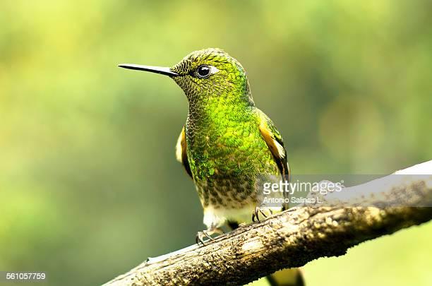 Hummingbird still on a branch