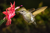 This is a high speed shot of a female hummingbird visits her favorite red flower