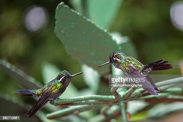 Hummingbirds in love