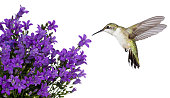 Hummingbird hovers of a purple campanula get mee, isolated on a white background