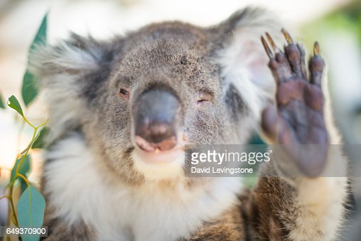 Humorous Koala waving : Stock Photo