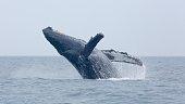 Humpback whale BCY0057 in Juan de Fuca strait