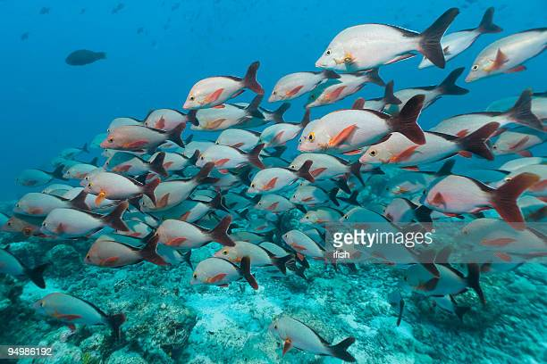 Humpback Red Snapper Lutjanus gibbus: Large School, Felidhe Atoll, Maldives