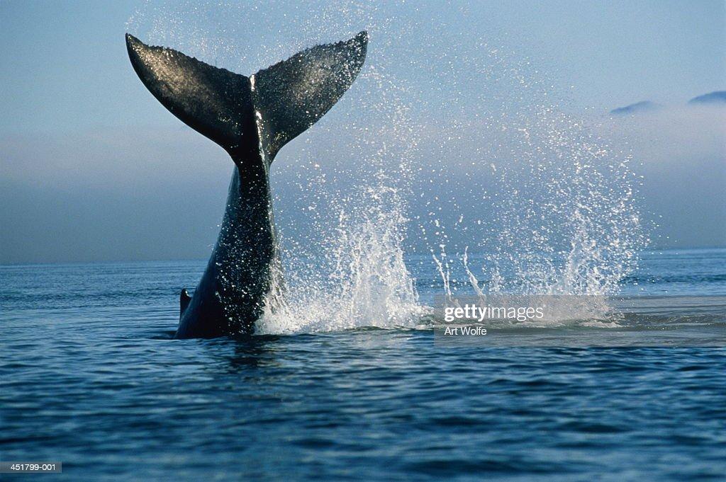 Humpback whale (Megaptera novaeangliae), Alaska, USA