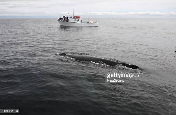 Humpback whale and sightseeing ship, Monterey Bay