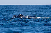 Humpback whale in the Pacific Ocean surfacing for a breath of air