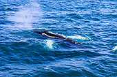 Humpback whale blowing out air getting ready to dive
