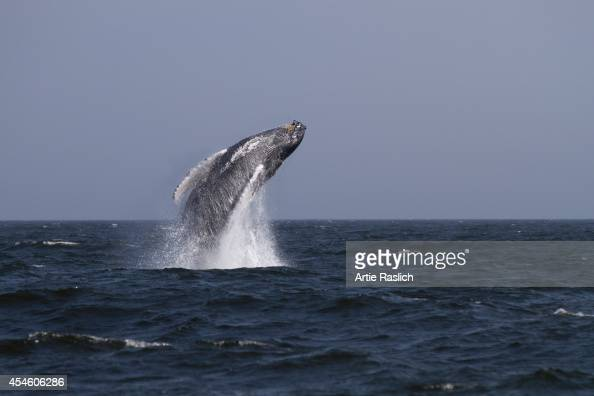 Humpback whale breaches 3 miles off of Rockaway Beach on August 31 2014 in New York City