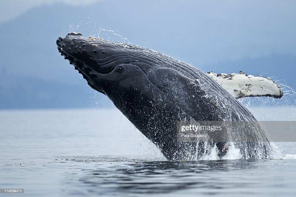Humpback Whale Breaching, Alaska : Stock Photo