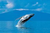 Humpback whale breaching (Megaptera novaeangliae), Alaska, Southeast Alaska, near Frederick Sound, Copyright David Hoffmann