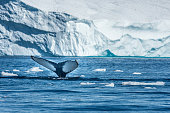 Humpback whales merrily feeding in the rich glacial waters among giant icebergs at the mouth of the Icefjord, Ilulissat, Greenland