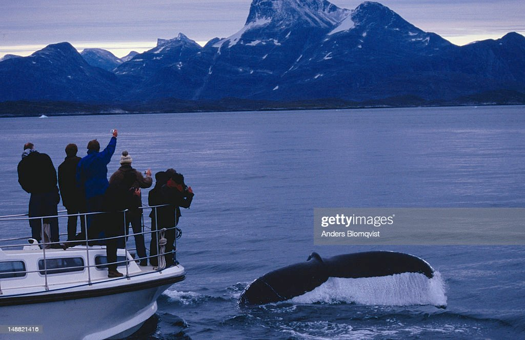 Humpback whale diving in front of whale-watching boat on fjord outside Nuuk. : Stock Photo