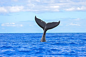 Humpback whale diving, tail out of the sea, Pacific Ocean