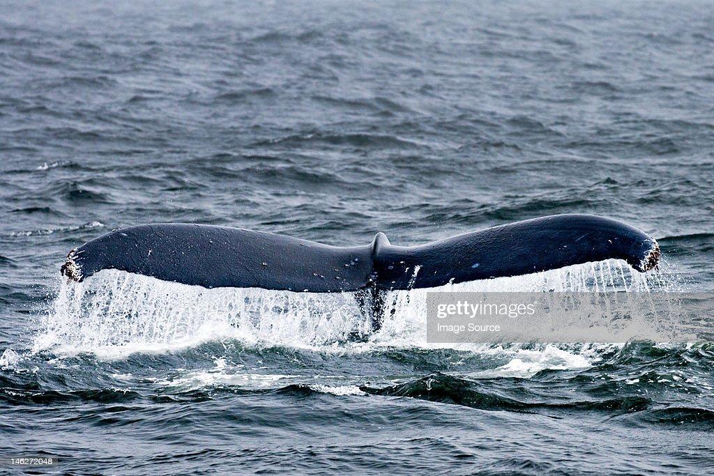 Humpback whale, farallon islands, california, usa