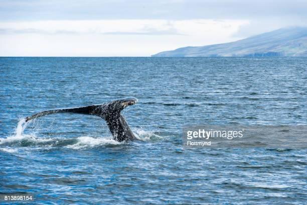 Humpback Whale Feeding in Eyjafjordur
