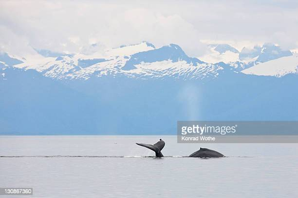 Humpback Whale fluke (Megaptera novaeangliae), Baleen Whales, Alaska's Inside Passage, Alaska, USA