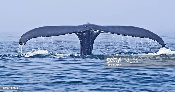 ザトウクジラ(Megaptera フルーク novaeangliae