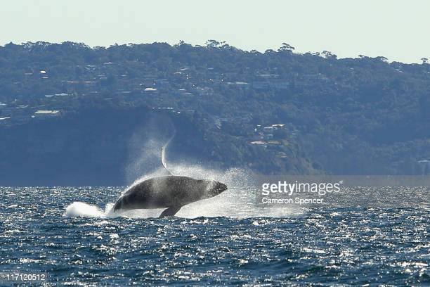 A humpback whale is seen breaching outside of Sydney Heads at the beginning of whale watching season during a Manly Whale Watching tour on June 23...