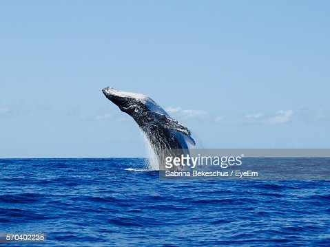 Humpback Whale Jumping At Sea Against Sky