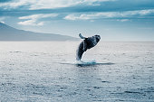 salto della megattera durante whale watching  in islanda, salto della balena, incredibile
