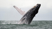 A Humpback whale jumps in the surface of the Pacific Ocean at the Uramba Bahia Malaga natural park in Colombia on July 16 2013 Humpback whales...