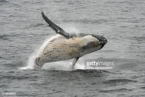 A humpback whale jumps out of the water in the western Antarctic peninsula on March 05 2016 Waddling over the rocks legions of penguins hurl...