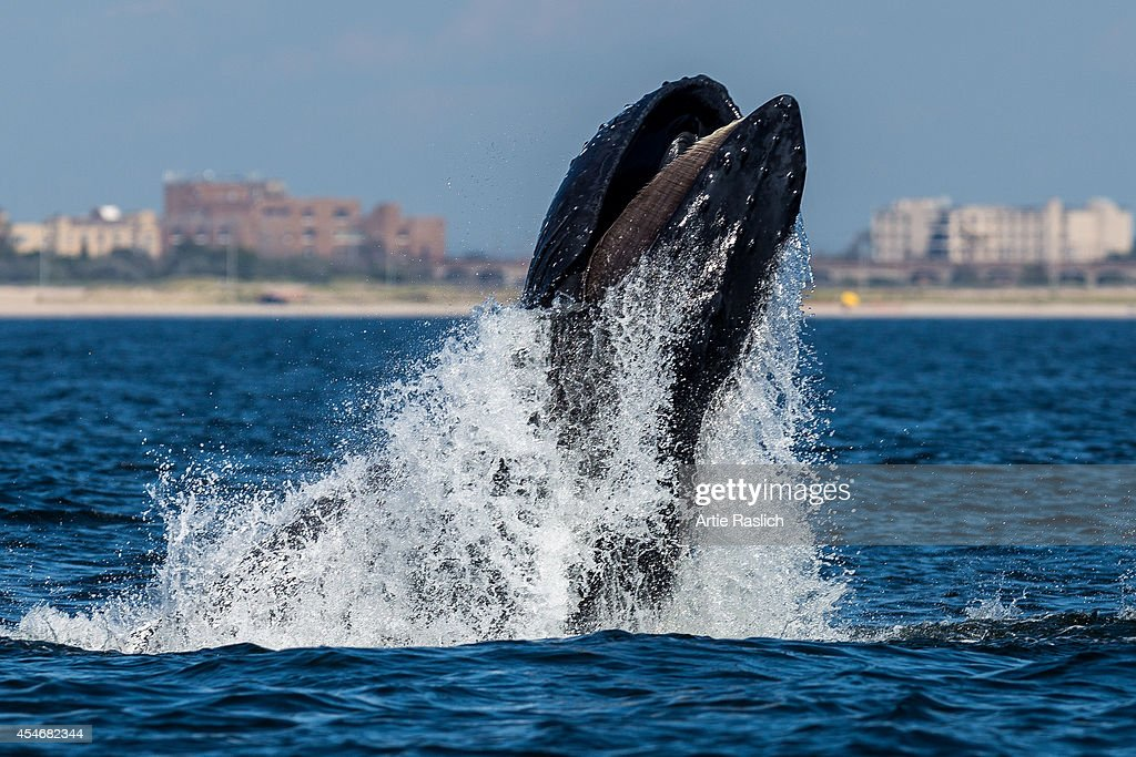 Humpback whale lunge feeding off NYC's Rockaway Peninsula with Rockaway Beach in the background on September 4 2014 in New York City