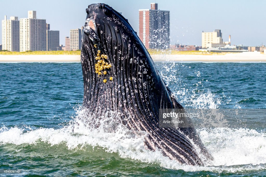 A humpback whale lunge feeds very close to a boat off Rockaway Peninsula with Rockaway Beach in the background October 2 2013 in the Rockaway Beach...