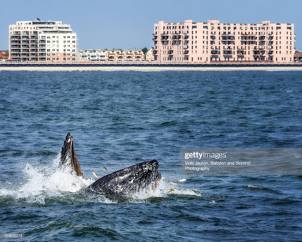 Humpback whale lunge fishing in long beach stock photo for Long beach sport fishing