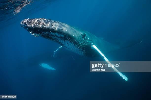 Humpback Whale Megaptera novaeangliae Samana Peninsula Dominican Republic